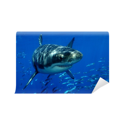 Great white shark Wall Mural Pixers We live to change