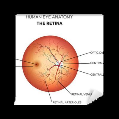Human eye anatomy, retina Wall Mural • Pixers® • We live to change