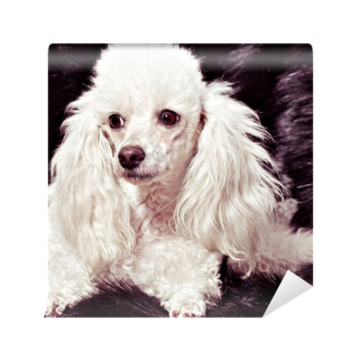 White Poodle Puppy Wall Mural Pixers We Live To Change