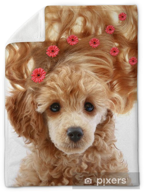 Small Apricot Poodle Puppy With Long Hair Plush Blanket