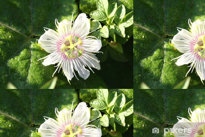 Papier peint à motifs vinyle Passiflora foetida l - Fleurs