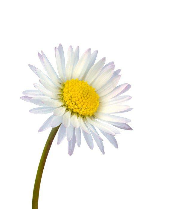 Pixerstick para Todas Superfícies White common daisy flower isolated - Flores