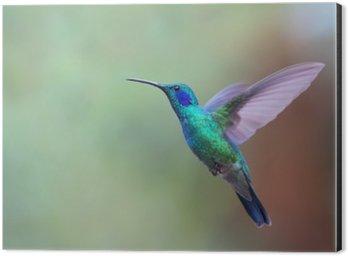 Aluminiumtavla Grön violetear kolibri under flygning i Costa Rica