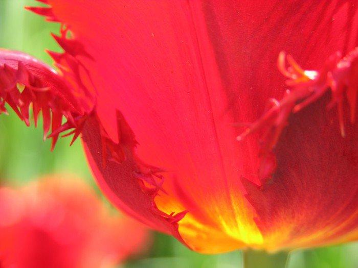 Aluminiumtavla Röda och gula tulpan kronblad - Teman