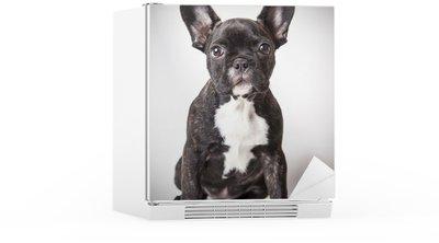 Autocolante para Frigorífico portrait of baby French bulldog