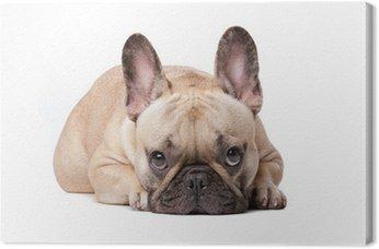 Canvas Franse bulldog