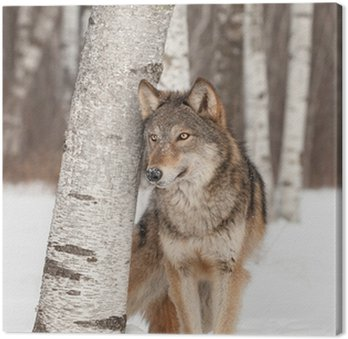 Canvas Grijze Wolf (Canis lupus) staat naast Birch Tree