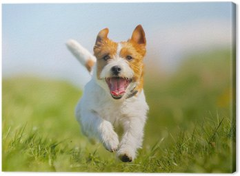 Canvas Jack Russell Terrier