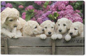 Canvas Labradoodle pupies