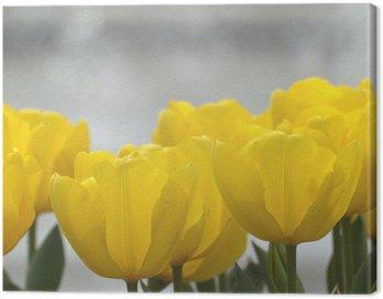 黄色いチューリップ Canvas Print
