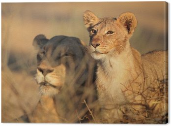 African lioness and cub, Kalahari desert Canvas Print