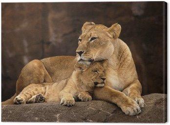animal - african lion (panthera leo krugeri) Canvas Print