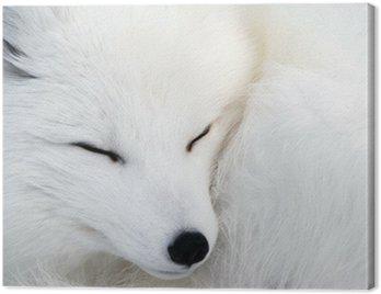 Canvas Print Arctic Fox
