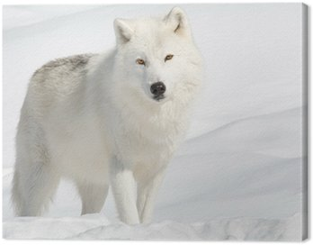 Canvas Print Arctic Wolf in the Snow Looking at the Camera