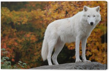 Canvas Print Arctic Wolf Looking at the Camera on a Fall Day