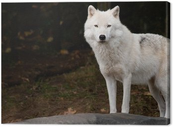 Canvas Print Arctic Wolf Looking at the Camera