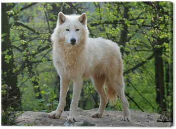 Canvas Print arctic wolf