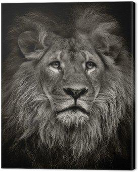 arrogant lion Canvas Print