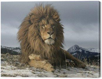 Barbary lion, Panthera leo leo Canvas Print