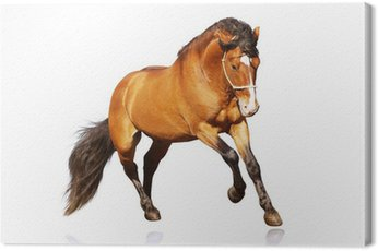 Canvas Print beautiful stallion galloping