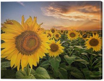 Canvas Print Beautiful sunset over a sunflower field