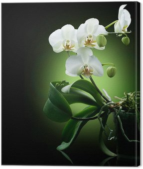 Beautiful White Orchid isolated on black Canvas Print