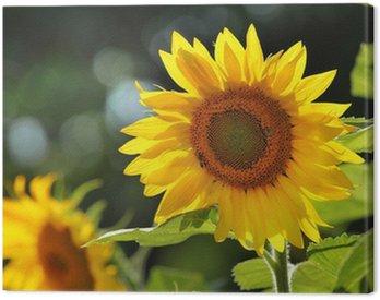 Canvas Print Big beautiful sunflowers outdoors