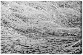 Canvas Print Black and white photo,close up long grass field texture backgrou