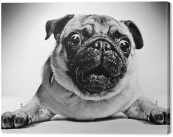 Canvas Print Black and white portrait of a pug
