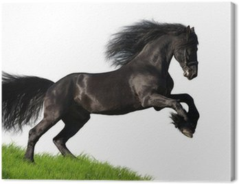 Canvas Print Black Friesian horse gallops on the hill