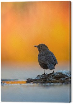 Canvas Print Blackbird in Vivid Light