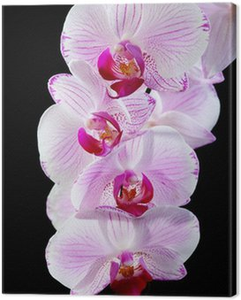 Blooming pink orchid. Canvas Print