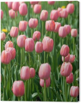 blossoming pink tulips Canvas Print