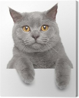 Canvas Print British gray cat on a white banner