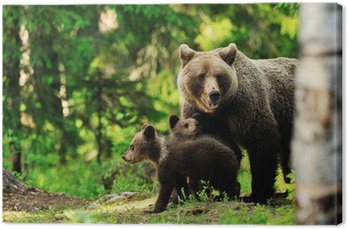 Canvas Print Brown bear family in forest