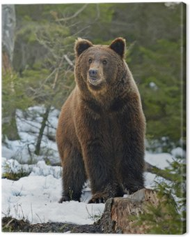 Canvas Print Brown bear in the woods in winter