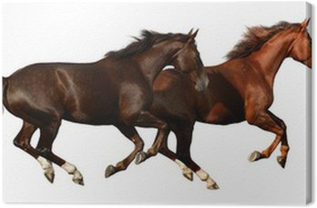 Canvas Print budenny horses gallop - isolated on white