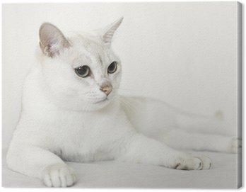 Burmilla Cat Canvas Print