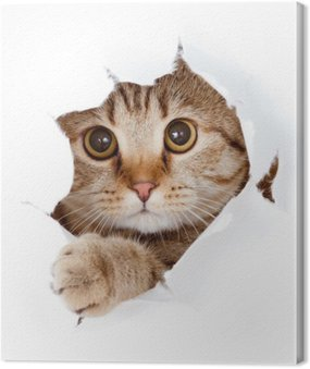 Canvas Print cat looking up in paper side torn hole isolated