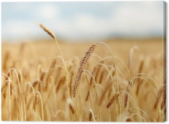 Canvas Print cereal field with spikelets of ripe rye or wheat