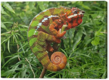 Chameleon - Furcifer Pardalis in a green grass