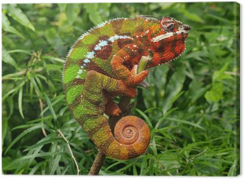 Chameleon - Furcifer Pardalis in a green grass Canvas Print