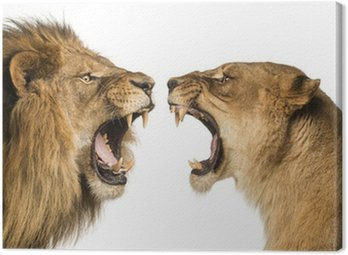 Close-up of a Lion and Lioness roaring at each other Canvas Print