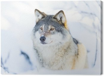 Close-up of a wolf standing in the snow Canvas Print