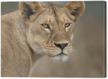Close-up of Lioness in Serengeti, Tanzania, Africa Canvas Print