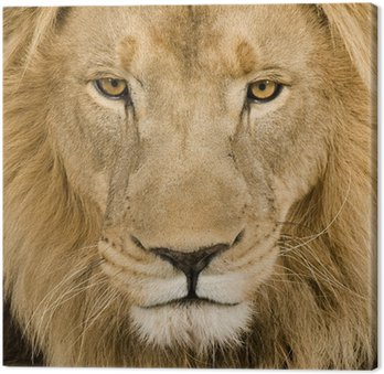 Close-up on a Lion's head (4 and a half years) - Panthera leo Canvas Print