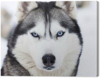 Canvas Print Close up on blue eyes of husky