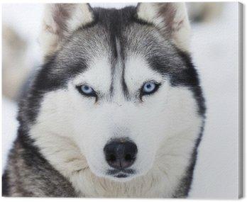 Close up on blue eyes of husky Canvas Print