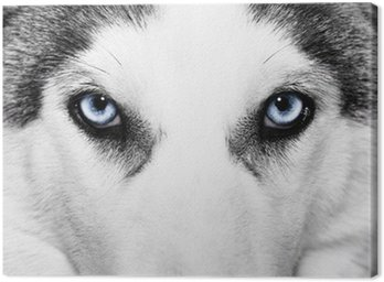 Canvas Print close-up shot of husky dog