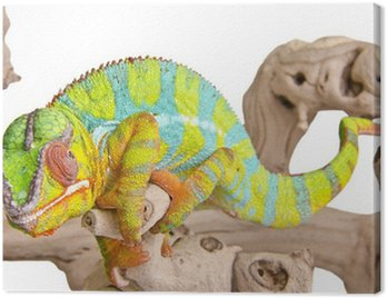 Colorful chameleon. Canvas Print